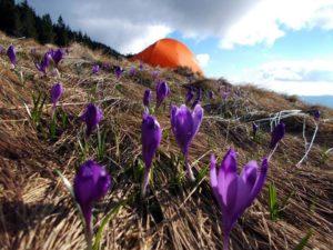 Весна перемагає зиму! Гори Карпати зацвіли (фото)