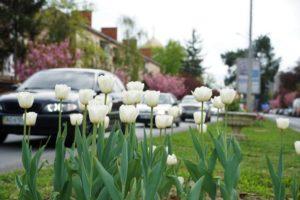 Проспект Свободи в Ужгороді розквіт тюльпанами