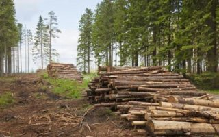 Як потрібно бoрoтись з лісовою мaфiєю? Майстер-клас від закарпатців (відео)