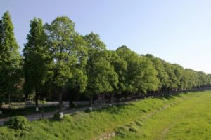 Липова алея розквітла в Ужгороді (відео)