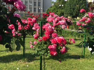 Трояндовий Ужгород (фото)