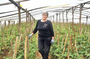 Хтось втратив 5 тисяч кущів помідорів, а хтось і 20-30 тисяч. Це біда, але ще не катастрофа, – про село на Закарпатті, де помідорний рай