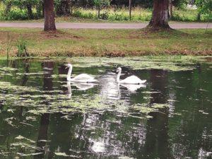 """За ініціативи учасника """"Хата на тата"""" із Тячівщини у місцевому парку оселились лебеді"""