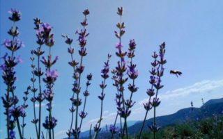 Ефірна троянда, фундук та Лавандова гора – нові туристичні родзинки Закарпаття (фото)