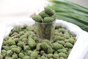 Брустури на Тячівщині: цього року очікується хороший врожай кедрових шишок
