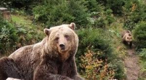 Міша та Гріша – два ведмеді з приватної власності оселилися на Міжгірщині (відео)