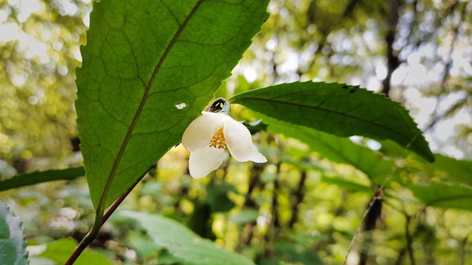 На закинутих плантаціях Закарпаття квітне чай