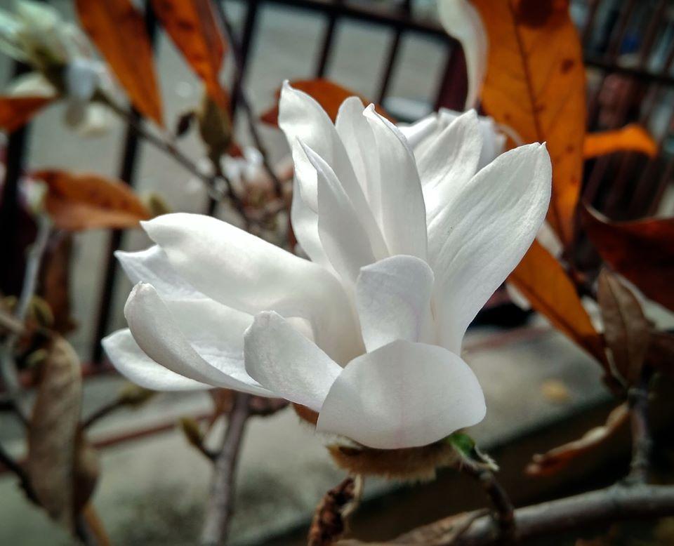 У Мукачеві цвіте магнолія!