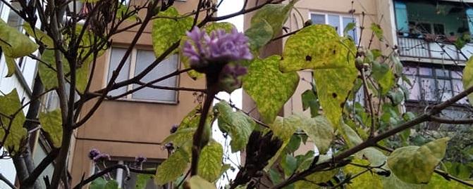 В Ужгороді зацвів бузок (фото)