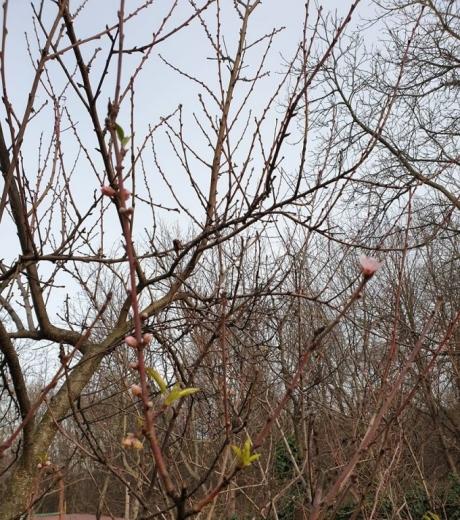 Червоне небо в Ужгороді, шалена сакура, цвітіння квітів під Новий Рік! День у фото