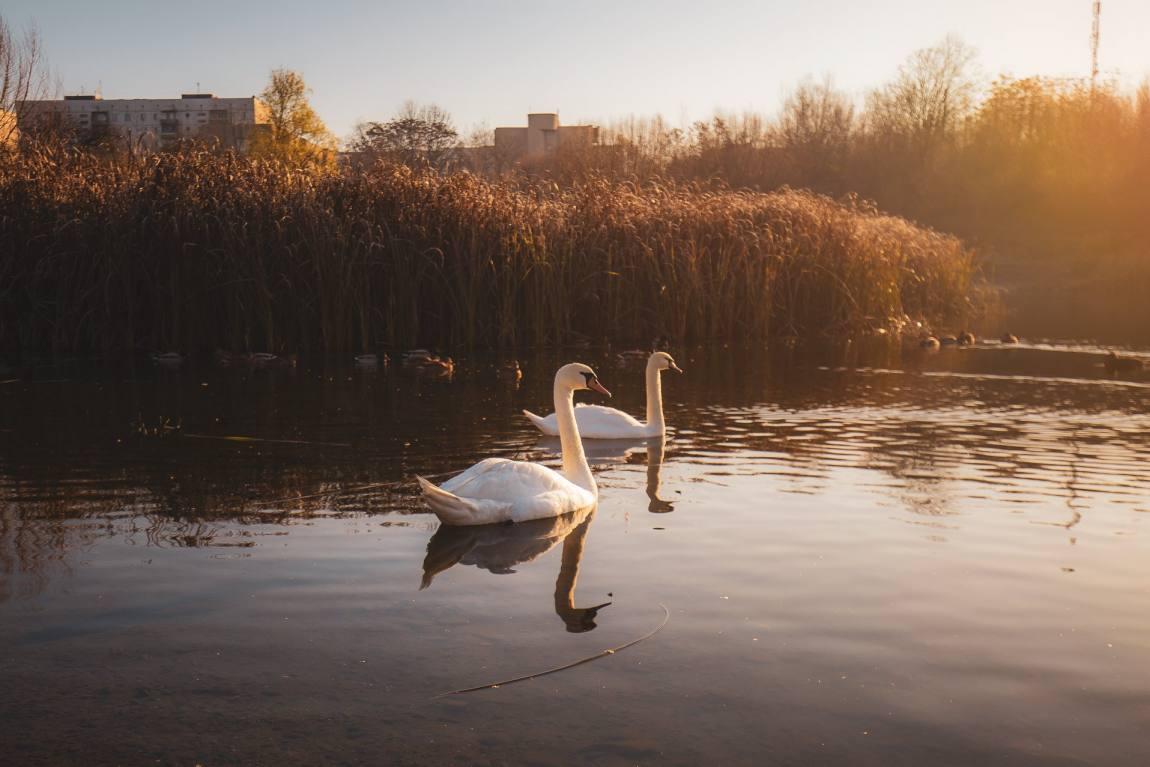 Пара лебедів на зимовій ужгородській кірпічці