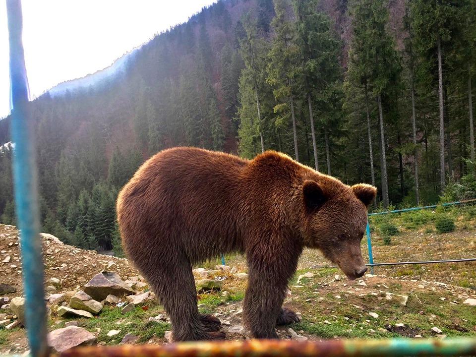 Засніжений Синевир та ведмеді (фото)