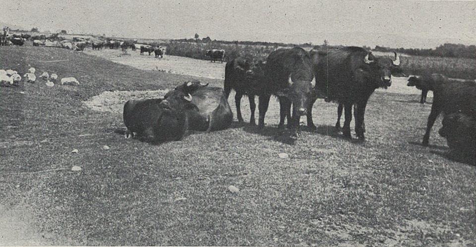Унікальні фото того, як на Тячівщині у 30-тих роках минулого століття випасали буйволів