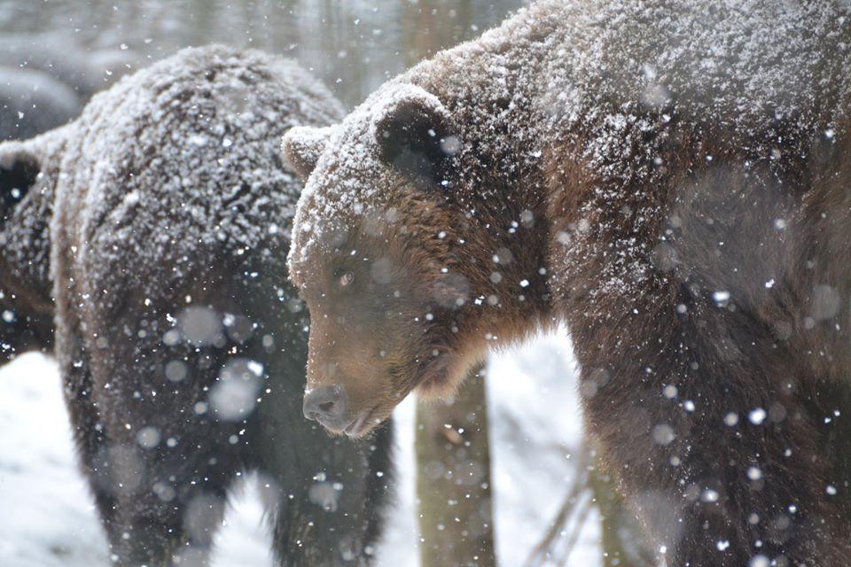 Фоторепортаж засніженого Синевиру та ведмедів, які не сплять