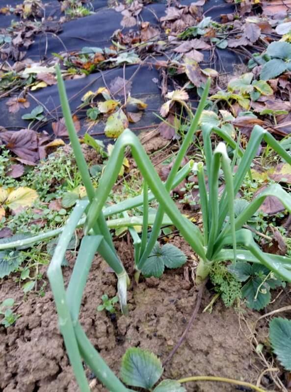 Цибулька, кріп, бурячок 22 грудня ростуть у хустянки на городі
