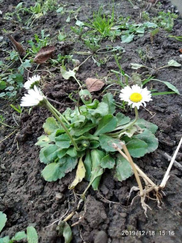 У селах Іршавщини розквітли Ромашки та Віоли (фото)