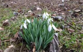 Природні аномалії: у Берегові в лютому цвітуть квіти