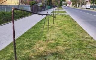 В Ужгороді вандали поламали деревцята сакур
