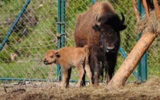 Бебі-бум в екопарку «Долина вовків» (фото)