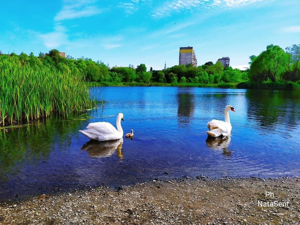 Пара лебедів на ужгородській «кірпічці»