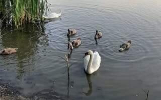 Діти в Ужгороді закидують лебедів камінням