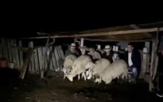 Олексій Петров подоїв овець у Карпатах та пообіцяв підтримку вівчарям (відео, фото)