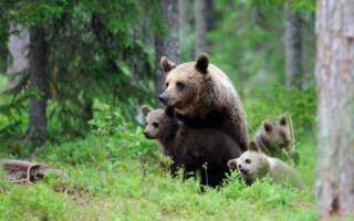 У Карпатах ведмеді нападають на пасіки (відео)