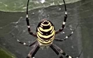 На Закарпатті збільшується кількість отруйних павуків (фото)