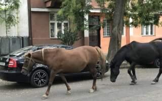 Центром Ужгорода розгулює троє коней (фото)