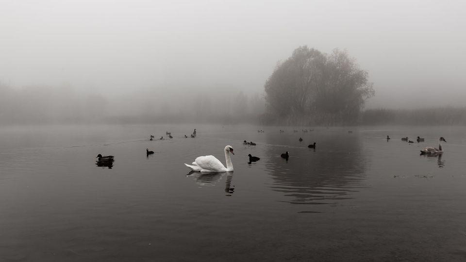 """Фото. Містичні лебеді """"Кірпічки"""""""