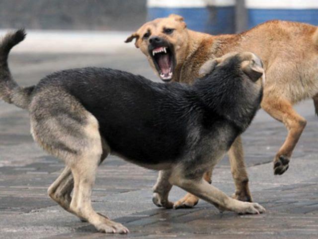 На Закарпатті бездомні собаки напали на жінку