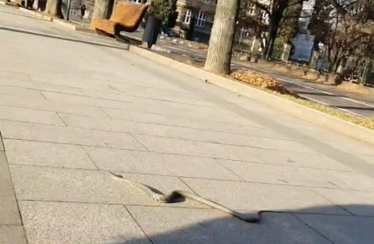 Фото/Відео. Зимовою набережною Ужгорода розгулювала змія