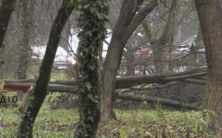 Скандал: В Ужгороді невідомі вирізали фруктові дерева (відео)