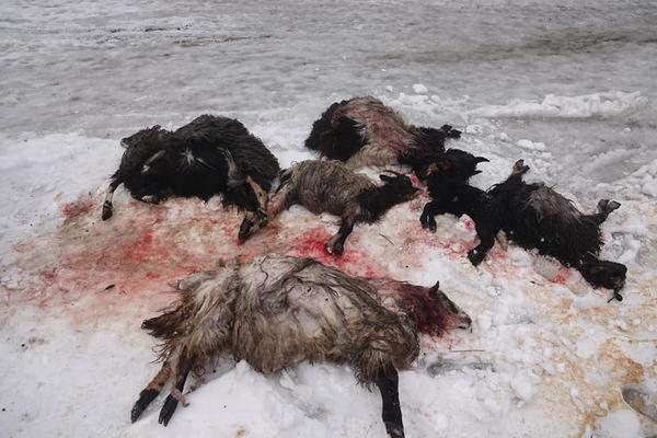 """""""Трупи тварин були по всьому двору"""", - на Закарпатті вовки загризли овець (ФОТО)"""