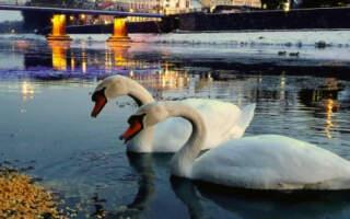 ВІДЕО. Лебеді та качки на річці Уж