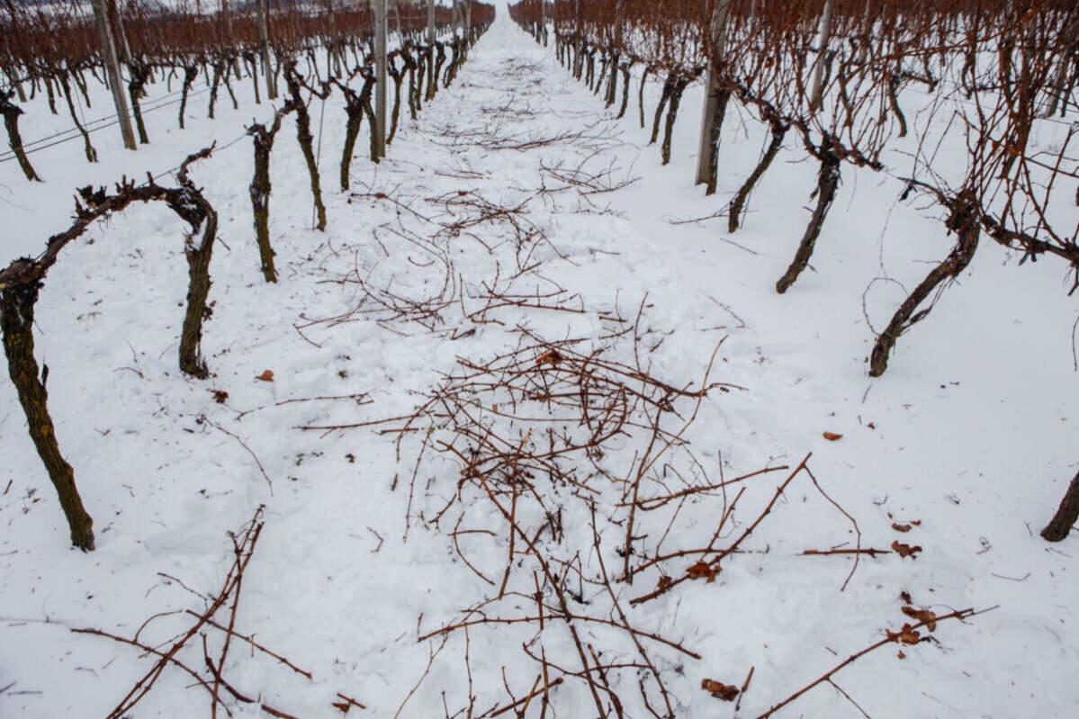 Олег Скрипка провів відпустку на Закарпатті обрізаючи виноградники (ФОТО)