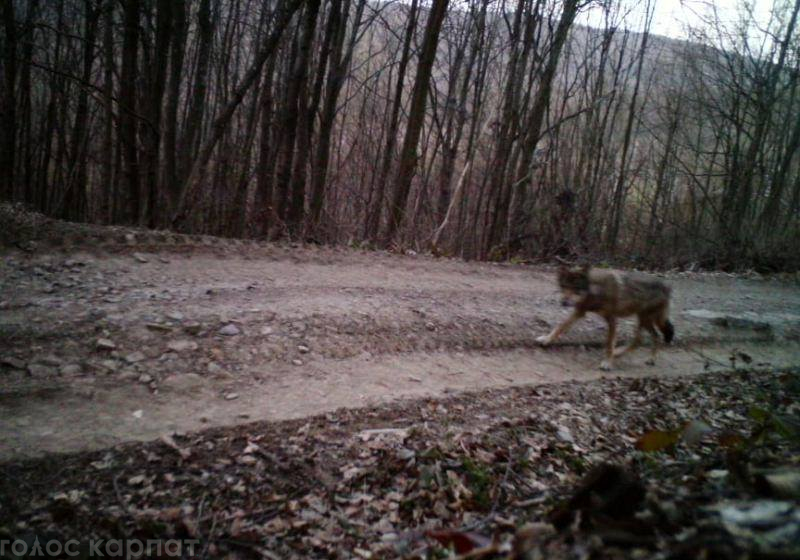На Перечинщині вовки розгулювали біля одного із сіл (ФОТО)