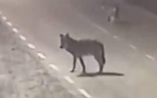 Геть знахабніли! У мережі оприлюднили відео прогулянки вовків вулицями села на Закарпатті