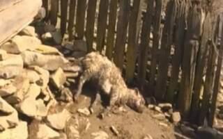 Вовк? Вовкулака? Чупакабра?, – село на Закарпатті тероризує невідома істота, яка вже задушила півтора десятка овець (ВІДЕО)