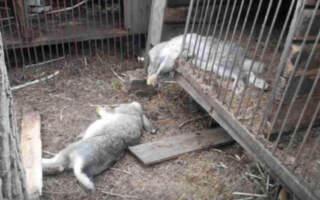 """""""Горлянки не перегризені, тільки нa тулубі дві дірки. Серед живих тільки собака"""", – на Закарпатті невідома тварина трощить вхідні двері сaрaю тa нищить худобу (ВІДЕО)"""