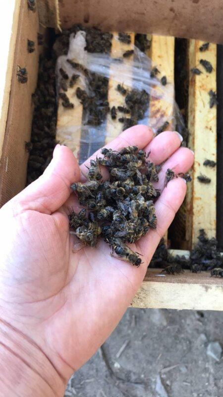 « У мене серце розривається від побаченого вчора» , - 🐝8 мільйонів бджіл із Закарпаття загинули через халатність Укрпошти (ФОТО)