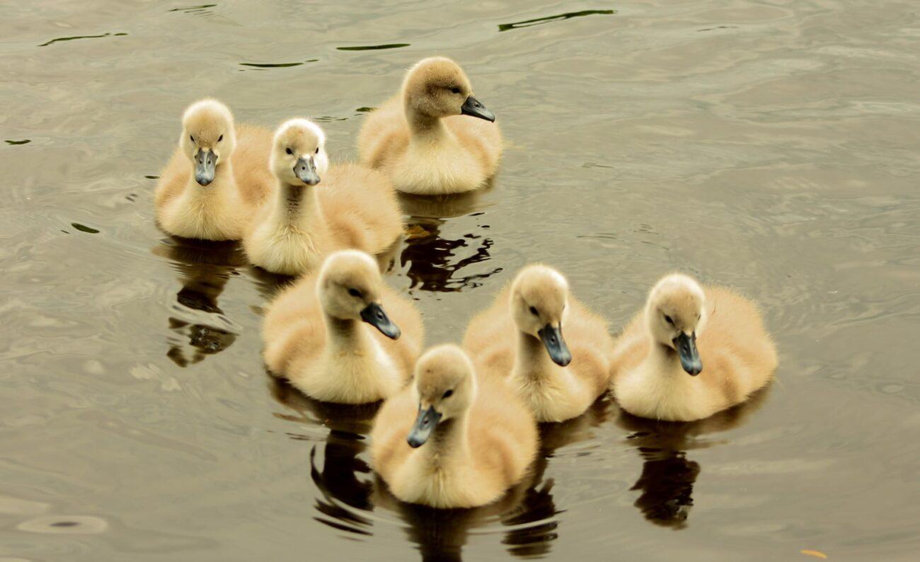 Фантастична краса! Лебеді на озері Кірпічка (ФОТО)