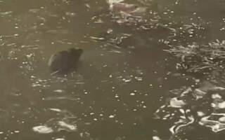 Під пішохідним мостом в Ужгороді бобер із собакою влаштували «морський бій» (ВІДЕО)