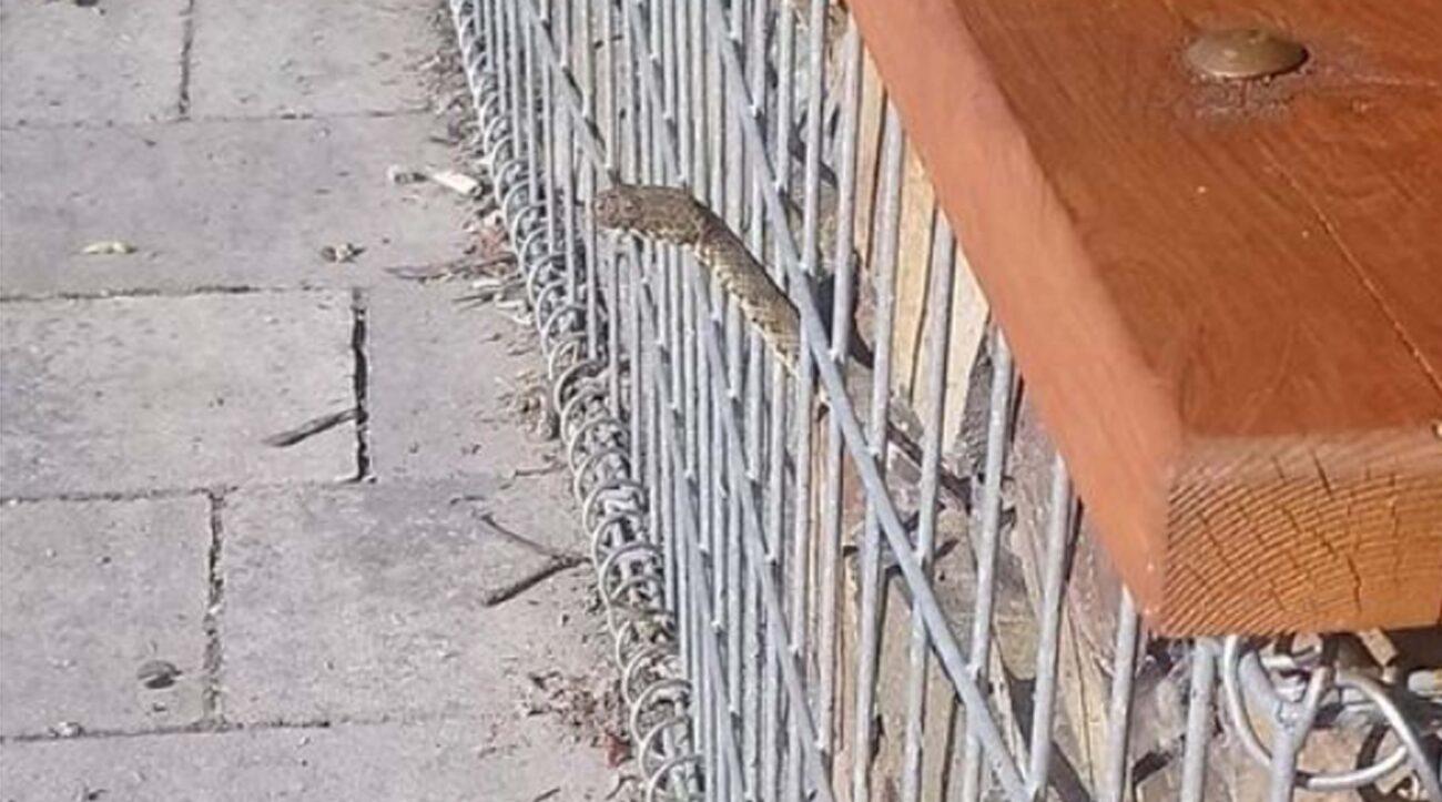 """""""Будьте обережні!! Ось такі """"гості"""" сидять під лавочками в хустському парку"""",- місцевий парк в Хусті заполонили змії (ФОТО)"""