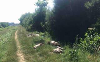 Мертві свійські тварини пролежали добу: Туші корів, кіз та свиней викинули на вулиці закарпатського міста (ФОТО)